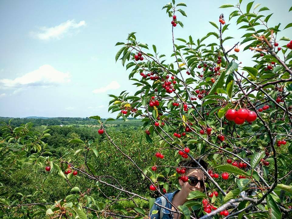 Fix bros fruit farm, hudson ny, red sour cherries
