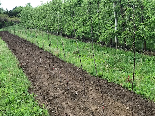 Small McIntosh apple trees in the PYO orchard at Fix Bros. Fruit Farm, Hudson, New York