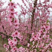 Fix bros fruit farm, hudson ny, peach blossoms