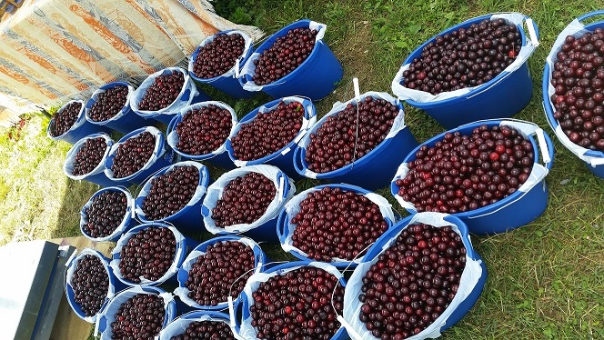 Fix bros fruit farm, hudson ny, black sour cherries