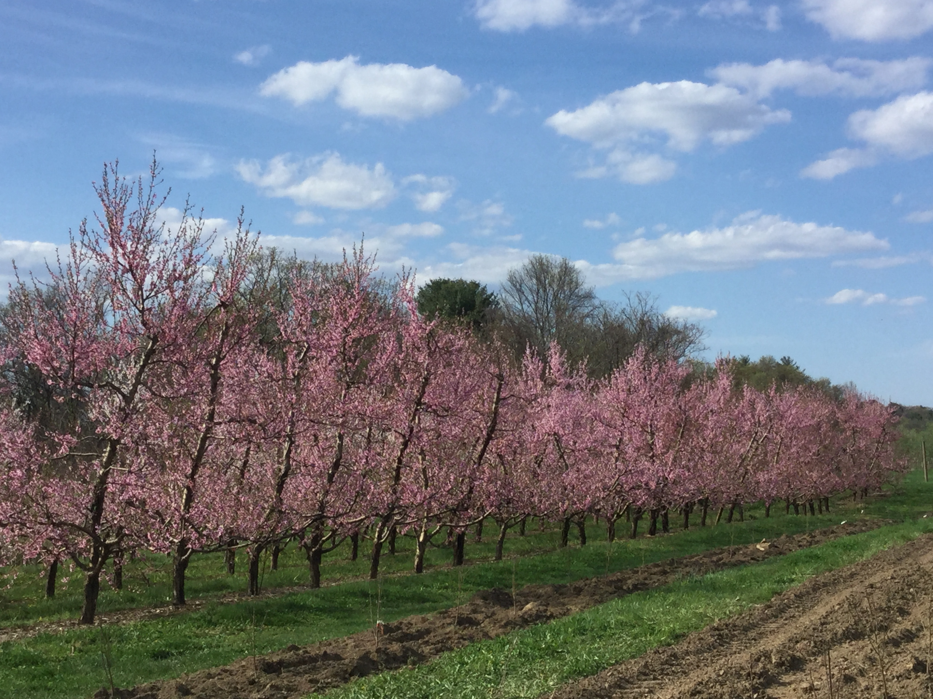 Fix bros fruit farm, hudson ny, peach blossoms
